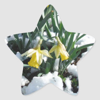 Yellow Daffodils in the snow Star Sticker