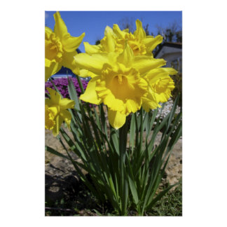 Yellow Daffodils Narcissus Poster Print