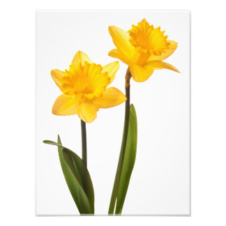 Yellow Daffodils on White - Daffodil Flower Blank Art Photo