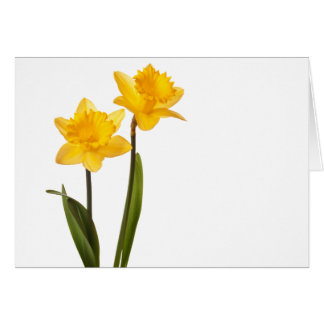 Yellow Daffodils on White - Daffodil Flower Blank Card
