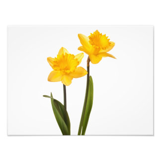 Yellow Daffodils on White - Daffodil Flower Blank Photo Art