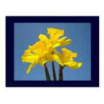 Yellow Daffodils postcards Blue Sky Floral