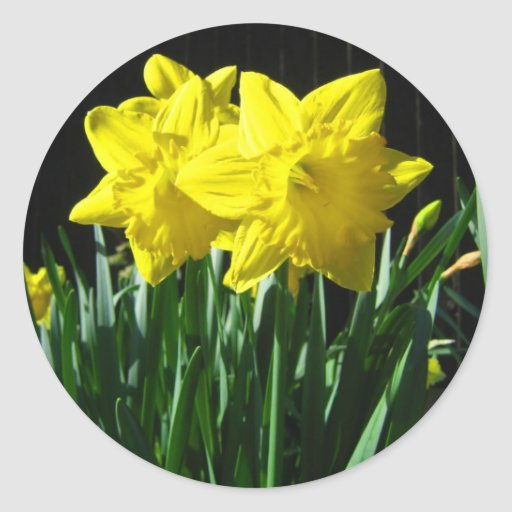 Yellow daffodils - Sticker