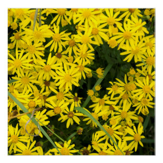 Yellow daisies photograph in English countryside Poster