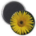 Yellow Daisy Magnet Magnets