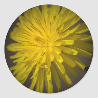 yellow dandelion in the meadow classic round sticker