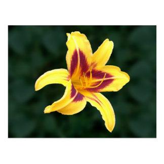 Yellow Daylily Flower with Red, Hemerocallis: Postcard