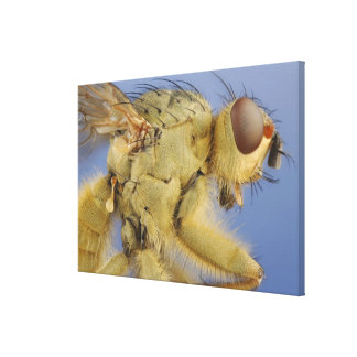 Yellow Dung Fly Canvas Print