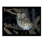 Yellow Eyed Eastern Screech Owl at Midnight Post Card