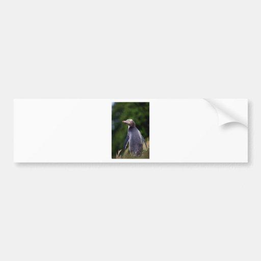 Yellow eyed penguin bumper sticker