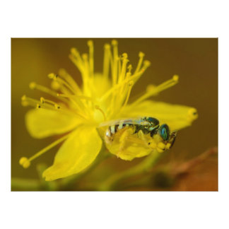 Yellow Female Bee Collecting Pollen Photo