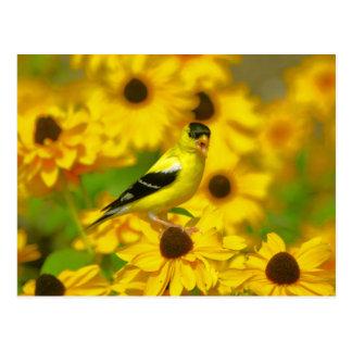 Yellow Finch Postcard