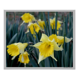 Yellow Flowers Daffodils Daffodil Flower Photo Poster