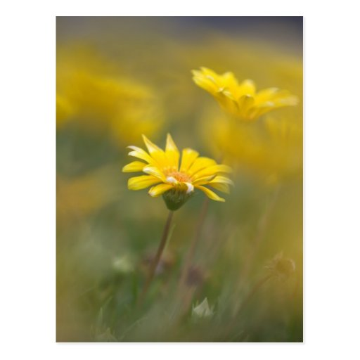 Yellow Flowers Postcards