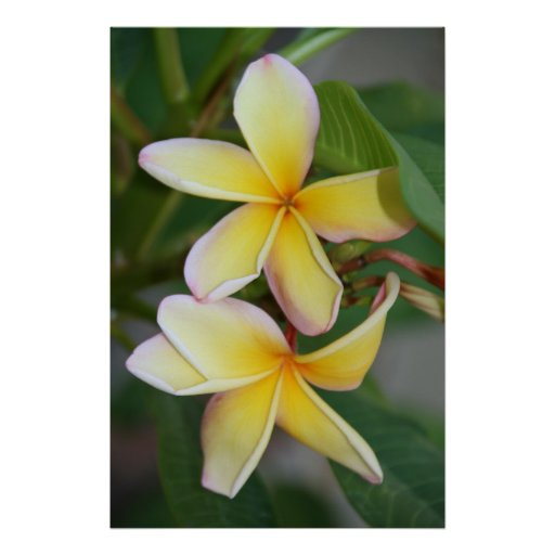 Yellow Frangipani Flowers Posters
