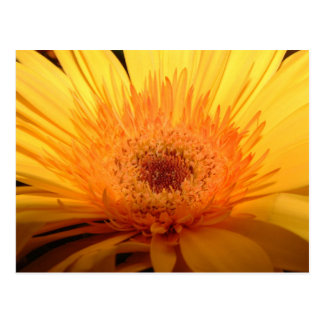 Yellow Gerber Daisy Postcard