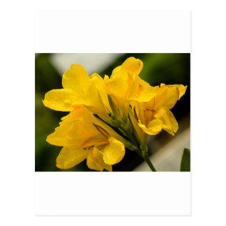Yellow Gladiolas Postcard