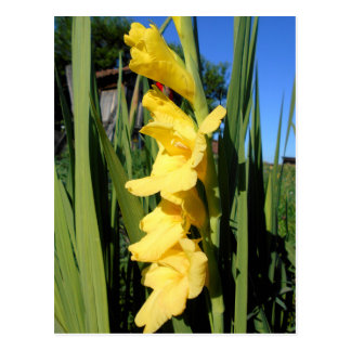 Yellow Gladiolus Postcard