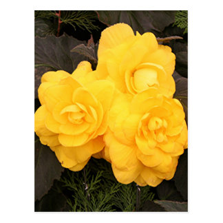 Yellow gold begonia flowers postcard
