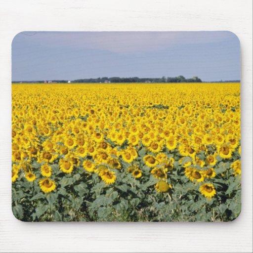 yellow Golden field of sunflowers, Manitoba flower