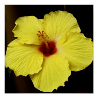 Yellow Gorgeous Hibiscus Chinese Rose photography Perfect Poster