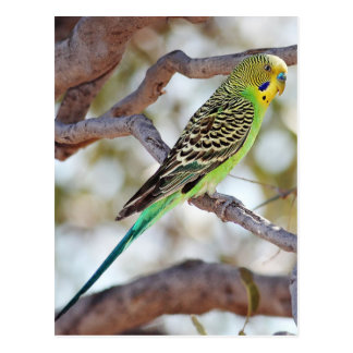 Yellow Green Budgerigar Postcard