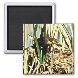 Yellow-headed Blackbird feeding young Square Magnet