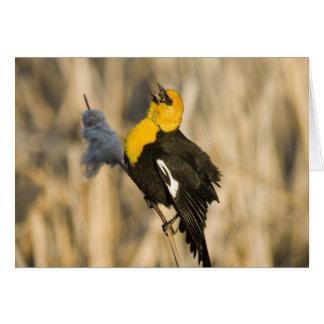Yellow Headed Blackbird singing in cattails in Card