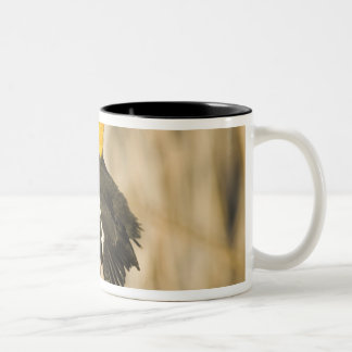 Yellow Headed Blackbird singing in cattails in Two-Tone Coffee Mug