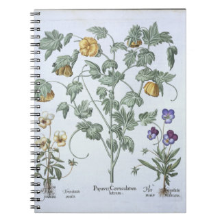 Yellow Horned Poppy, from the 'Hortus Eystettensis Note Book