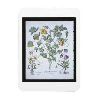 Yellow Horned Poppy, from the 'Hortus Eystettensis Rectangular Photo Magnet