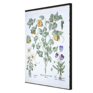 Yellow Horned Poppy, from the 'Hortus Eystettensis Stretched Canvas Print
