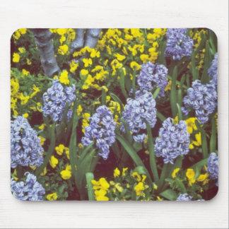 yellow Hyacinths 'Bismark' interplanted with Viola Mousepads