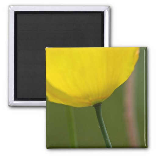 Yellow Iceland Poppy DSC2213 Fridge Magnet