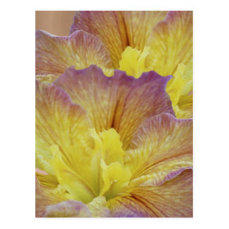 Yellow iris and its meaning postcard