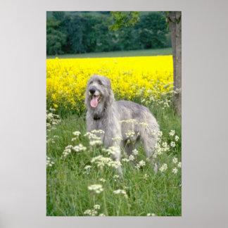 yellow Irish wolfhound flowers Posters