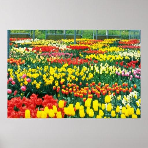yellow Keukenhof Greenhouses flowers Poster