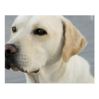 Yellow Lab  Postcard