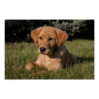 Yellow Lab Puppy Poster