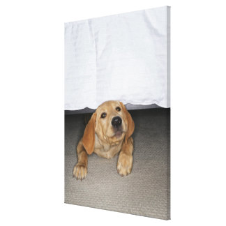 Yellow lab puppy stuck under bed canvas print