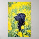 yellow Labrador flowers Poster