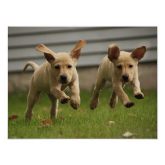 Yellow Labrador Puppies Running Poster