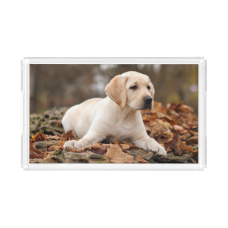 Yellow Labrador Puppy In Autumn