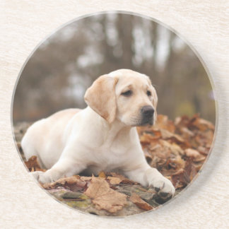 Yellow Labrador Puppy In Autumn Coaster