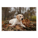 Yellow Labrador Puppy In Autumn Poster