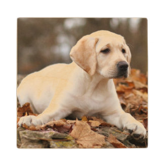 Yellow Labrador Puppy In Autumn Wood Coaster