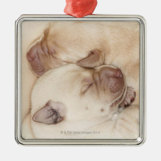 Yellow Labrador Retriever puppies, 10 days old Christmas Ornament