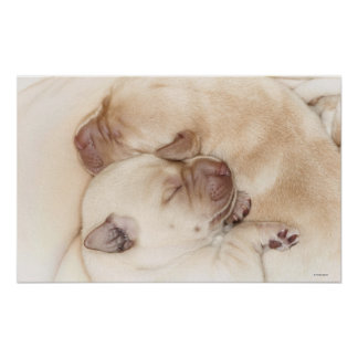 Yellow Labrador Retriever puppies, 10 days old Poster