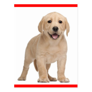 Yellow Labrador Retriever Puppy Dog Postcard
