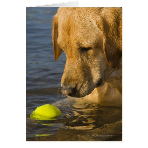 Yellow labrador with a tennis ball in the water cards